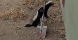 sneaky honey badger